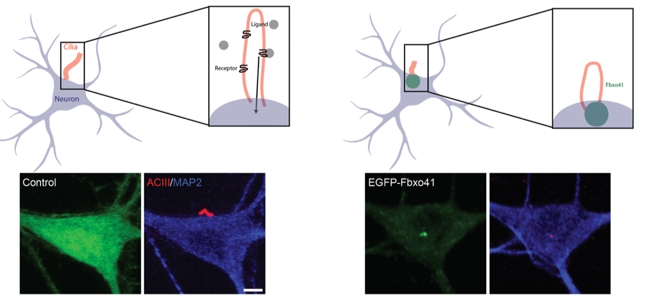 Research Identifies Complex Of Neurons >> New Insights Into The Function Of The Neuronal Antenna Fga